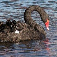Лебедь :: Laryan1
