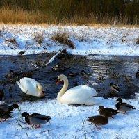 Лебеди, утки, цапля :: Nina Yudicheva