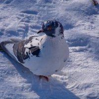 красавица голубка :: Валентина Папилова