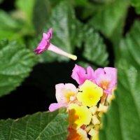 Лантана цветочек :: Александр Деревяшкин