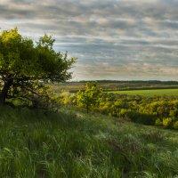 Дерево на склоне. :: Олег Сахнов