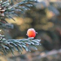 ягодка на ветке ели :: Наталья Золотых-Сибирская