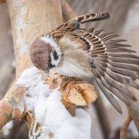 Воробей и крылья :: Андрей Поляков