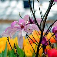 Магнолия на фоне тюльпанов. :: Татьяна Помогалова