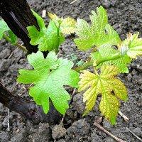 Виноградная лоза :: svetlana.voskresenskaia