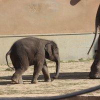 Слонёнок :: Дмитрий Солоненко