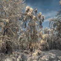 Берёзки под снегом. :: Василий Ярославцев