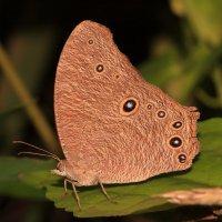 Тропическая бабочка. :: Александр Гризодуб