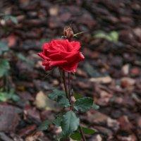 Рождественская роза :: Ирина Мельничук