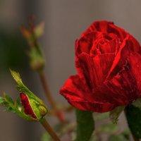 Роза :: Игорь Сикорский