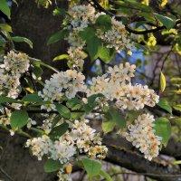 Цветение черемухи в холодный день :: Фотогруппа Весна.