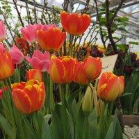 Тюльпаны :: GALINA
