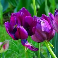 Сибирские тюльпаны :: Милешкин Владимир Алексеевич