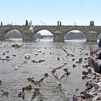 Лебеди у Карлова моста в Праге. :: ИРЭН@ Комарова