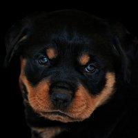 vit5 Tor, rotwailer 1.5 months :: Vitaly Faiv