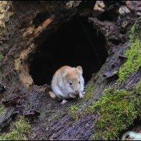 Лесная мышь в поисках добычи :: Максим Минаков