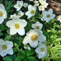 Праздник весны с анемонами :: Нина Корешкова