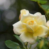 Желтые розы – символ печали :: - Derjavin -
