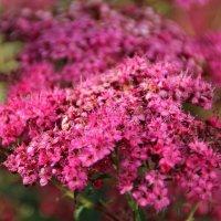 Розовой дымкой окутаны.. :: Татьянка *