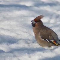 Свиристель купается в снегу :: Екатерина Торганская