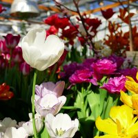 Белый тюльпан. :: Иван
