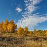 Осенний вальс березок :: Наталья Ильина