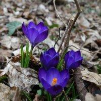 Так рождается весна... :: Galina Dzubina