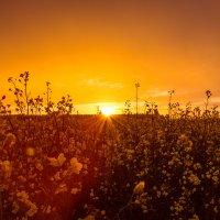 Солнце в рапсе :: Светлана Коваль