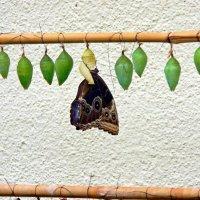 инкубатор бабочек :: Александр Корчемный