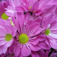 Розовое великолепие :: Ирина Via