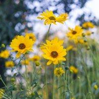 желтоглазые мои цветики степные..... :: Ксения смирнова