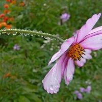 Капли на цветке :: Попкова Александра