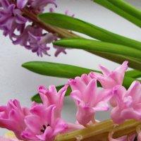 Цветы в срезке. Гиацинт. :: OLLES
