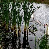 Лебединое озеро. :: Liudmila LLF