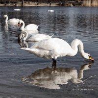 Лебедь-шипун . :: Liudmila LLF