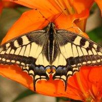 Бабочка махаон :: Татьяна Георгиевна