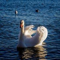 Лебедь :: Сергей Белышев