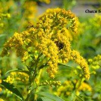 пчелы :: Олеся Б