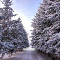 Ели в зимнем парке :: S-Rover