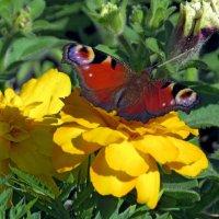 Бабочка и цветы :: Вера Щукина