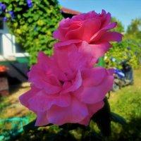 Розы Сиде... :: Sergey Gordoff