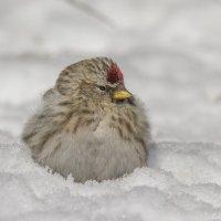 Снежок :: Елена Шел(Швыдун)