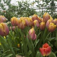Тюльпаны :: marmorozov Морозова