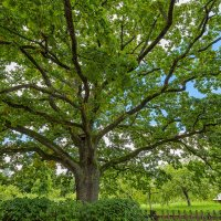 У Лукоморья дуб зелёный :: Светлана Л.