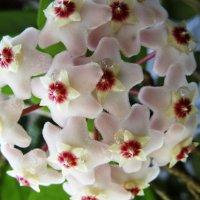 Цветок красивый и пикантный - хойя. :: Galaelina ***