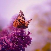 красивая бабочка и сирень :: Стас