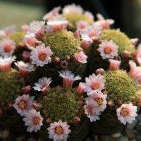 Даже кактусы цветут :: Lеsя Sеmейкинa