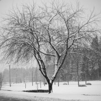 Дерево :: Вера Аксёнова