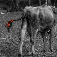Бурёнка в красном. :: Вера Катан