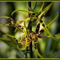Мои любимые орхидеи :: Оксана